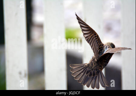 Starlings caught in mid flight in the air - Stock Photo