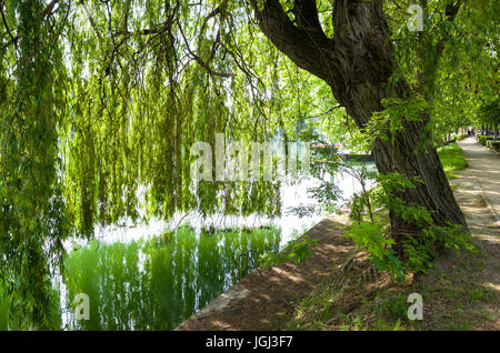A weeping willow tree on the bank of the Marne river and its branches falling like a curtain till touching the water - Stock Photo