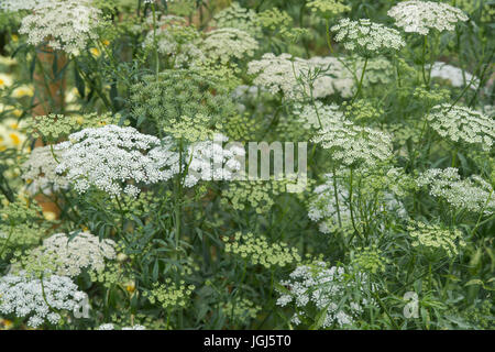 Ammi majus 'Graceland'. False bishop's weed 'Graceland' flowering - Stock Photo