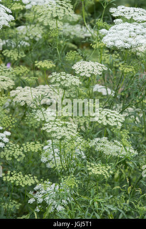 Ammi majus 'Graceland'. False bishop's weed 'Graceland' flowering Stock Photo