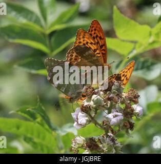 Silverwashed Fritillary Valesina mating Argynnis paphia - Stock Photo