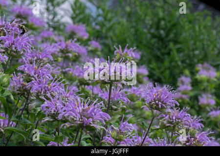 Bee balm growing in a backyard garden. The scientific name,  Monarda is a genus of flowering plants in the mint - Stock Photo