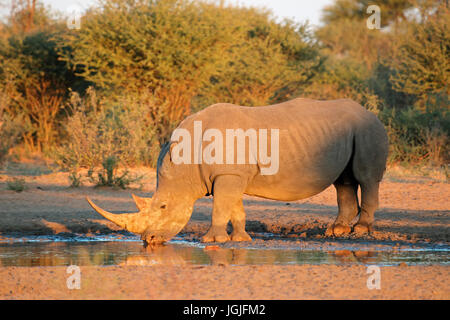 White rhinoceros (Ceratotherium simum) drinking water in late afternoon light, South Africa - Stock Photo