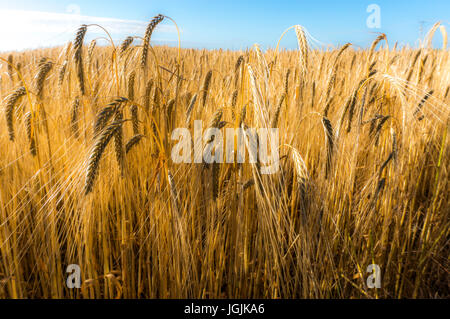 A close up of a crop of wheat growing in a field early on a summer morning, Langtoft, Lincolnshire, England, UK. - Stock Photo