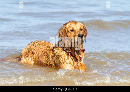 Southport, Merseyside. Doggies Day Out. 8th July 2017. UK Weather.  Gorgeous 2 year old working Golden Retriever - Stock Photo