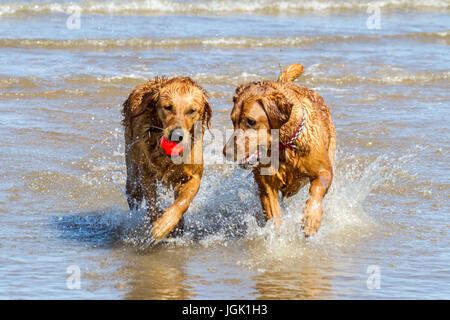 Southport, Merseyside. Doggies Day Out. 8th July 2017. UK Weather.  Gorgeous 3 year old working Golden Retriever - Stock Photo