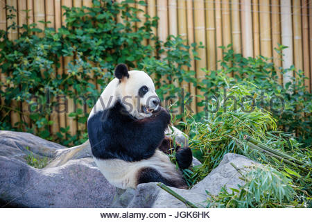 Toronto zoo park giant panda exhibit Ailuropoda melanoleuca; panda bear exhibit travel tourism attraction zoological - Stock Photo