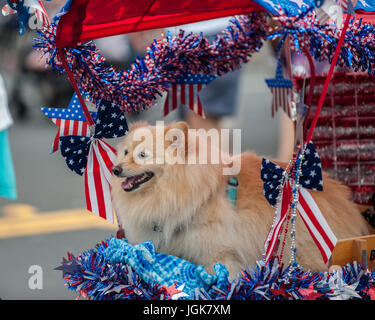 Patriotic Pomeranian dog riding on street parade float decorated with stars and stripes. - Stock Photo