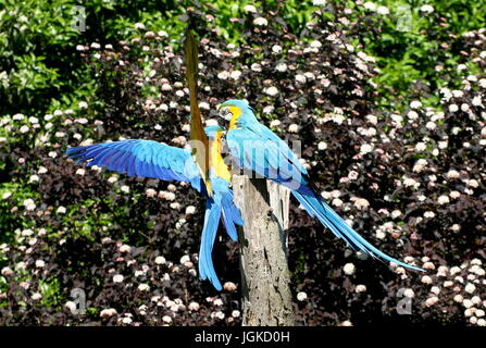 Pair of South American Blue and yellow Macaws (Ara ararauna) touching down. Also known as Blue and gold Macaw - Stock Photo