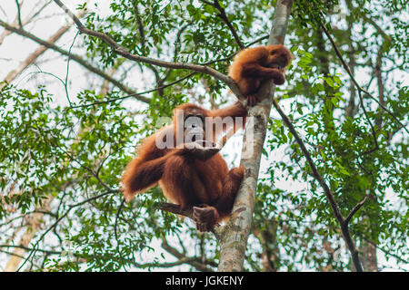 Orangutan in the wild forests of Sumatra - Stock Photo