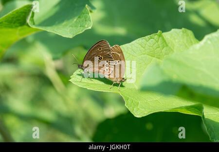 Ringlet (Aphantopus hyperantus), mating pair - Stock Photo