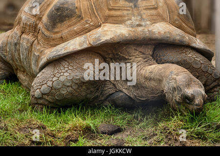 Giant turtle on the Seychelles in the Indian Ocean. - Stock Photo