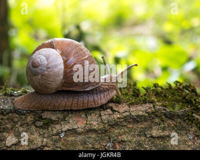 Roman / Edible Snail on a tree in the woods - Stock Photo