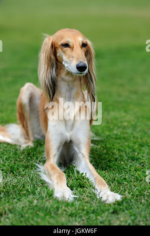 Close brown Borzoi dog in green summer grass - Stock Photo