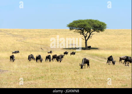 Wildebeest in savannah, National park of Kenya, Africa - Stock Photo