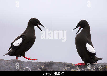 Two Black Guillemots (Cepphus grylle) displaying to one another, Shetland, UK - Stock Photo