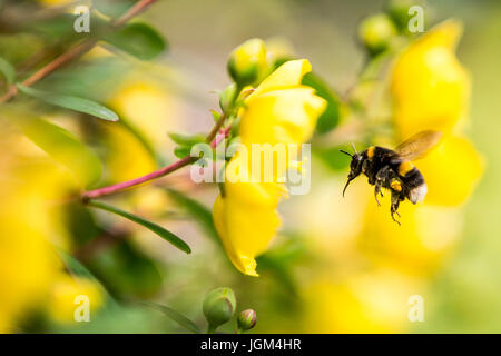 Bumble Bees collecting pollen from Rose of Sharon - Stock Photo