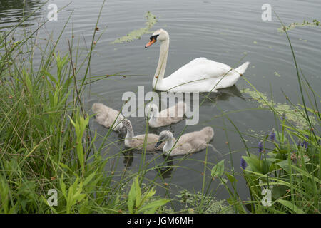 Mother swan with her babies (cygnets) feeding near the shore on the lake in Prospect Park, Brooklyn, NY. - Stock Photo