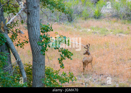Mule Deer Buck in Velvet by River - Stock Photo