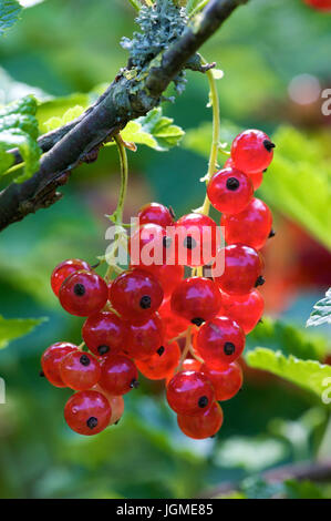 Red Ribisel - Red currant, Rote Ribisel - Red currant - Stock Photo