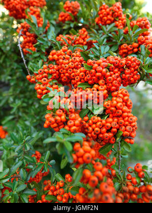 Fire thorn - Firethorn, Feuerdorn - Firethorn - Stock Photo