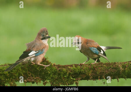 Eurasian Jay (Garrulus glandarius) perched on a moss covered branch - Stock Photo