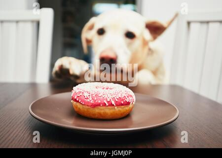 Mischievous dog in home kitchen. Naughty labrador retriever steals the donut from the table. - Stock Photo