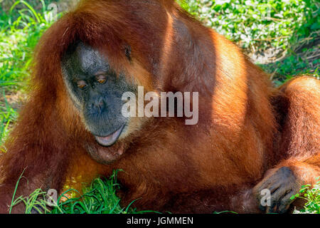 Orangutan, orang-utan, orangutang, or orang-utang, Asian great apes native to Indonesia and Malaysia, in the rainforests - Stock Photo