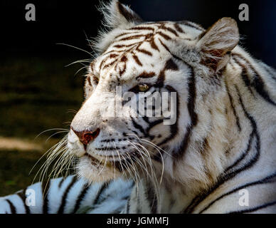 White tiger or bleached tiger (Panthera tigris tigris) Bengal. Close-up of face, profile. - Stock Photo