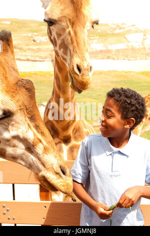 Young boy feeding giraffes at an animal park. - Stock Photo