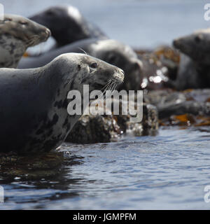 Grey Seal (Halichoerus grypus) resting on rocks at the water's edge, Farne Islands, Northumbria, England, UK. - Stock Photo