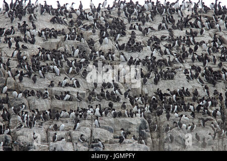 A colony of Guillemots (Common Murres, Uria aalge) on nesting cliffs, Farne Islands, Northumbria, England, UK. - Stock Photo