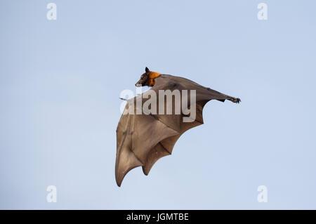 Single Fox Bat Flying - Stock Photo