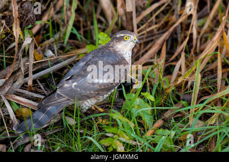 An adult male sparrowhawk (Accipiter nisus) on the ground with a freshly caught tree sparrow (Passer montanus) in - Stock Photo