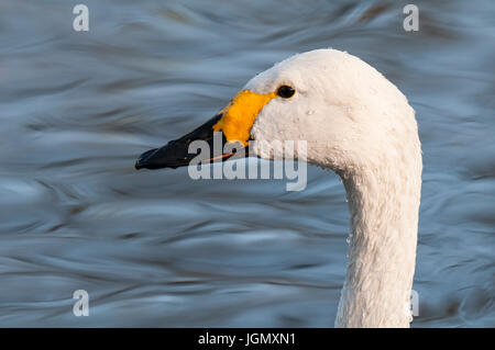A close-up on the head of an adult Bewick's swan (Cygnus columbianus) swimming in a pool at the Wildfowl and Wetlands - Stock Photo