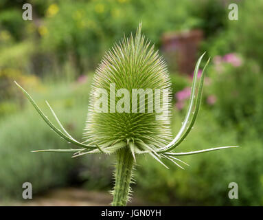 Common teasel (Dipsacus fullonum, syn. Dipsacus sylvestris) - Stock Photo