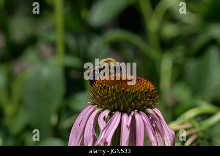 Bumble bee which is a member of the genus Bombus, part of Apidae on Echinacea flower. - Stock Photo