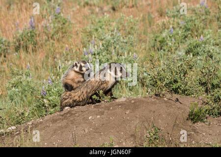 North American badger, Yellowstone National Park - Stock Photo