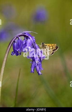 Chequered Skipper, Carterocephalus palameon, perched on Bluebell flower Hyacinthoides non-scripta - Stock Photo