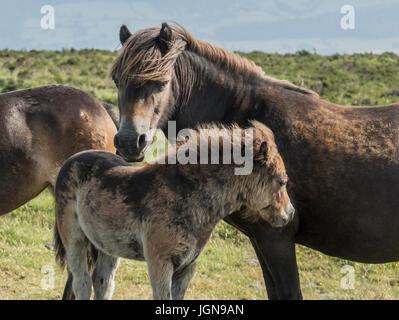Exmoor Ponies, Dunkery Beacon, Exmoor - Stock Photo