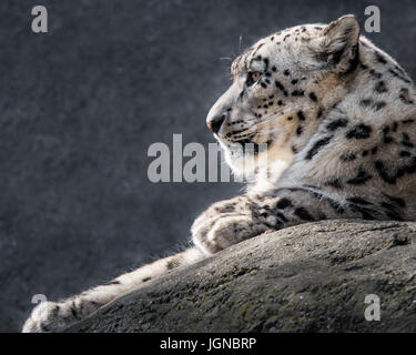 Profile Portrait of a Snow Leopard Against a Mottled Gray Background - Stock Photo