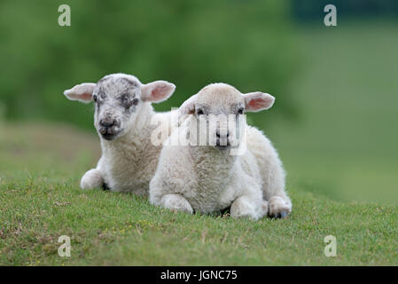 Pair of Lambs-Ovis aries on the Yorkshire Moors, Yorkshire, England, Uk.