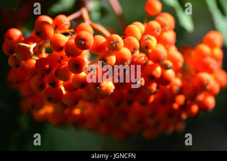 Rowan Berries on a Mountain Ash tree - Stock Photo