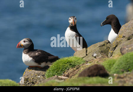 Puffins enjoying their time on land before heading for the North Atlantic.  A Razorbill stands innocently by. - Stock Photo