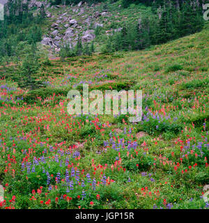 USA, Oregon, Mount Hood National Forest, Mount Hood Wilderness, Paintbrush and lupine bloom in subalpine meadow - Stock Photo