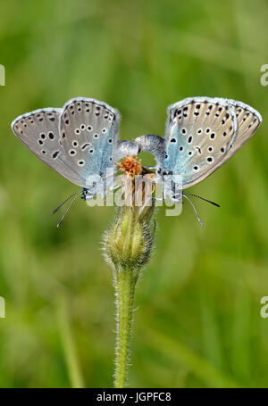Large Blue Butterfly - Maculinea arion Pair Mating - Stock Photo
