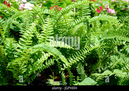Green garden background of Fishbone Fern or Sword Fern (Nephrolepis cordifolia (L.) Presl.) - Stock Photo