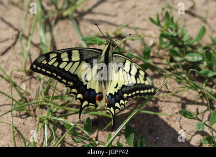 Papilio machaon - Stock Photo