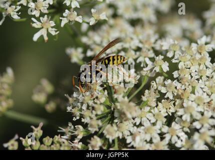 Common wasp (Vespula vulgaris) - Stock Photo