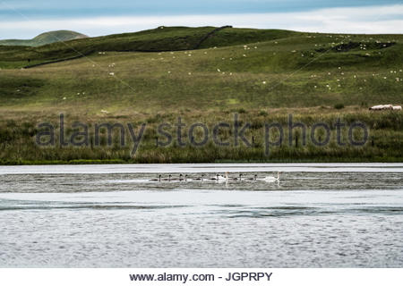 Whitton Loch, Morebattle, Kelso, Scottish Borders, UK. 9th July 2017. Two adult Swans and eight Cygnets swim on - Stock Photo